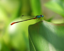 Damselfly Blue and Red19
