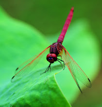 Maroon Dragonfly2