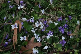 Wild violets in the yard