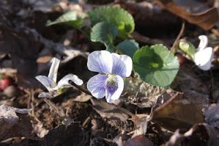 White wild violet