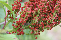 Sumac berry cluster, with bug