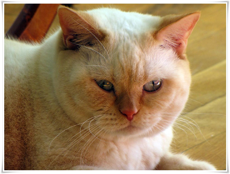 got pics hd: Gambar Kucing Persia @ Digaleri.com