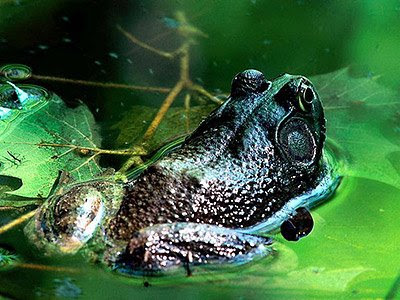 Male Frog