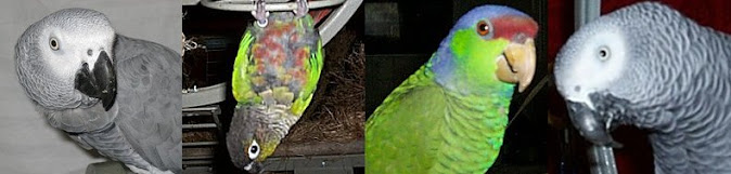 Training My Parrots and My Parrots Training Me
