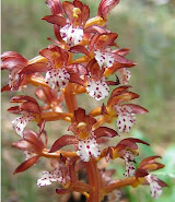 spotted coral root orchid