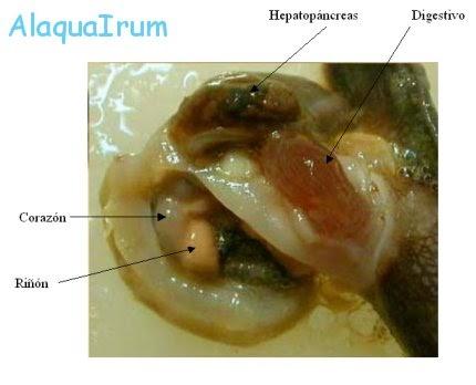Helix aspersa helix aspersa estructura interna - Estructura caracol ...