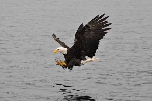Bald Eagle Catching Fish http://www.orcawatcher.com/2010/06/to-sitka-and-saint-lazaria-island.html