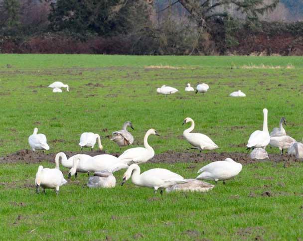 trumpeter swan ontario. see most trumpeter swans,