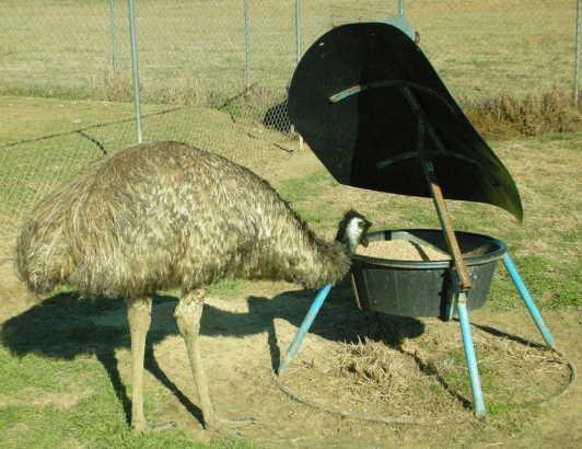 how to start emu bird farming