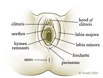 Female Reproductive System: interactive diagram