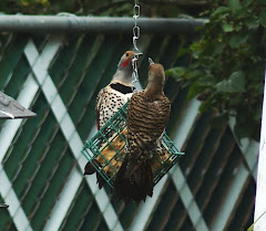 2 Red-Shafted Flickers