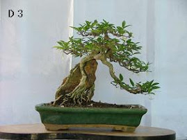 Water Jasmine ( wrightia religiosa )
