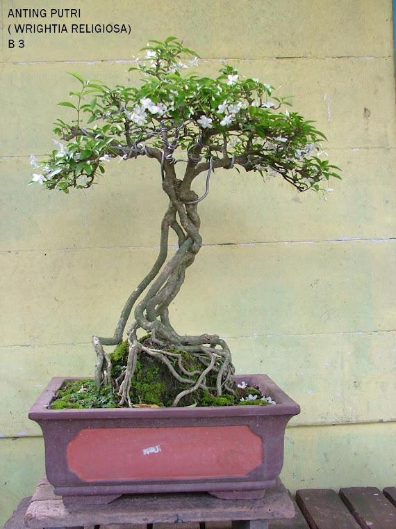 santalia ( wrightia religiosa )