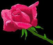 *Rosa Vermelha*