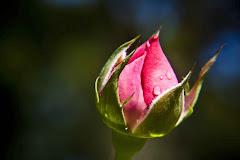 Um amor em botão, floresce no coração.