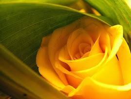 A mesma rosa amarela