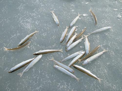 какая рыба ловится в оби в сентябре