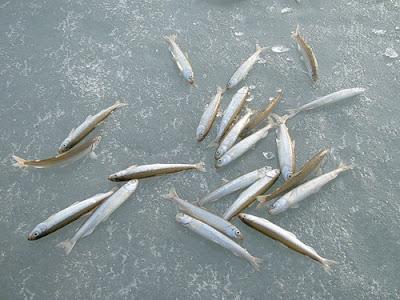 Какая рыба водится в Неве?