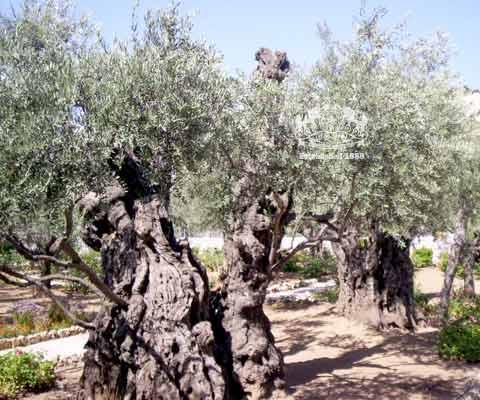 [Grand+old+Olive+trees+in+Gethsemane.jpg]