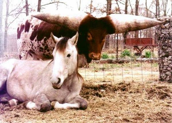 http://2.bp.blogspot.com/_iTGXYFIkfkA/TU1IAlx2FtI/AAAAAAAAevo/SxQYHRnZoos/s800/largest-bull-horn-03.jpg