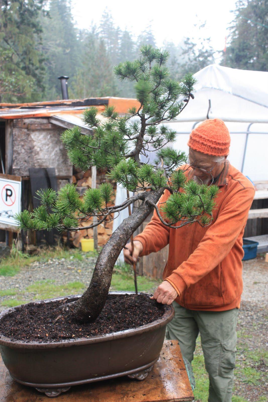 Woodland Bonsai New Collected Lodgepole Pine Pinus Latifolia