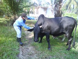 Gambar Diatas Adalah Seekor Daripada Lebih Ekor Lembu Yang