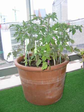 [tomates+maio.JPG]