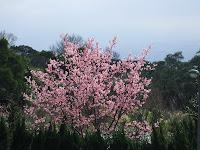 超美櫻花樹-2