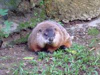超肥土撥鼠