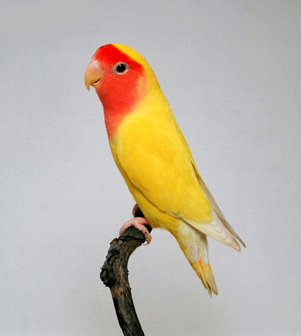All about Lovebirds at Animal World  How to Care for