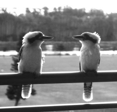Kookaburras - Kim Barker