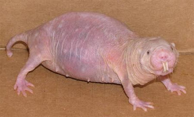 Mole-Rats are not Blind