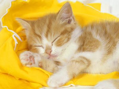 wallpaper cute cat. beautifull cat wallpaper