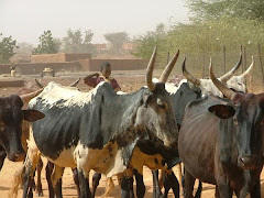 Niger Cows