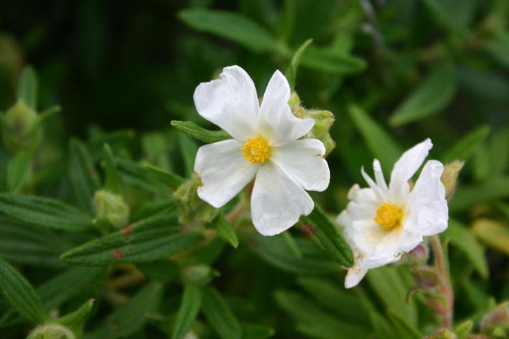 El portal de la rosa de los vientos forums viewtopic - Arbusto pequeno con flores ...