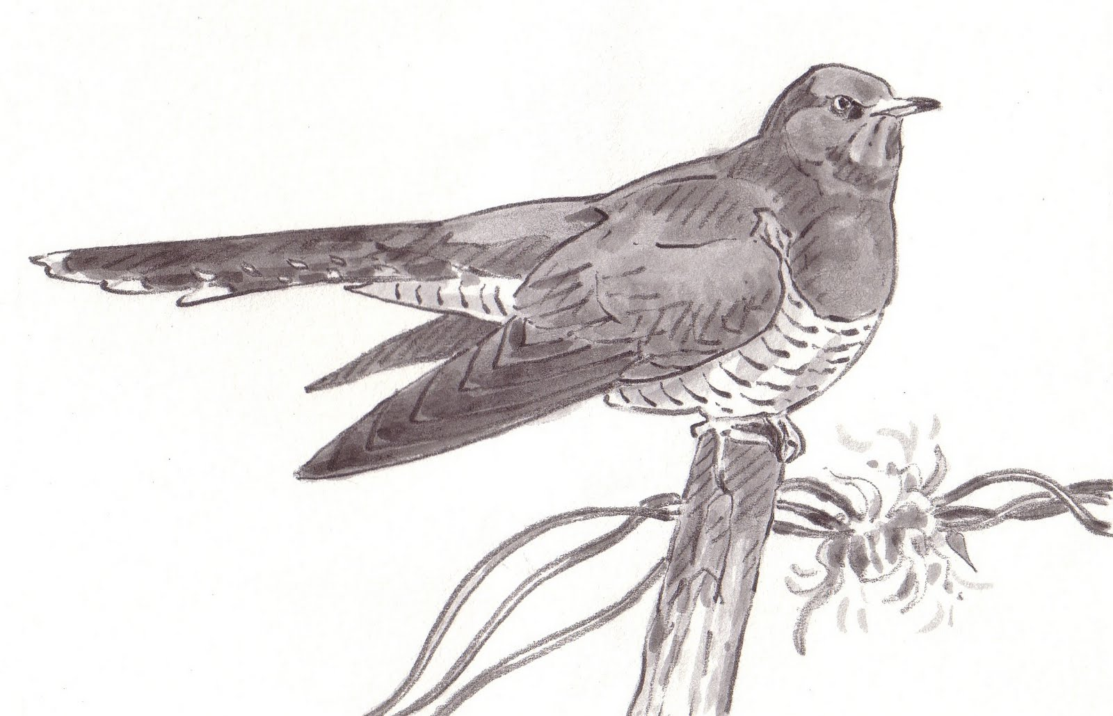 How to draw a cuckoo correctly