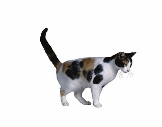 pictures of Calico cat