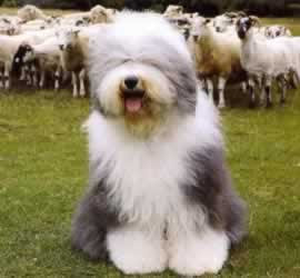 Best Animal Picture  Old English Sheepdog Picture