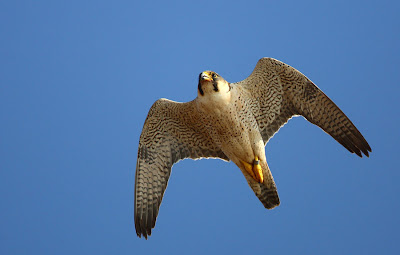 A female adult Barbary Falcon from Lanzarote, Canary Islands