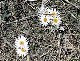 Easter Daisy, Townsendia