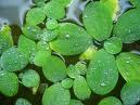 Spiruline : L'algue pour perdre du poids