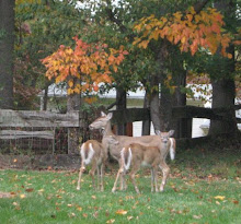 Teenaged deer with mom, Oct 17, 2008.