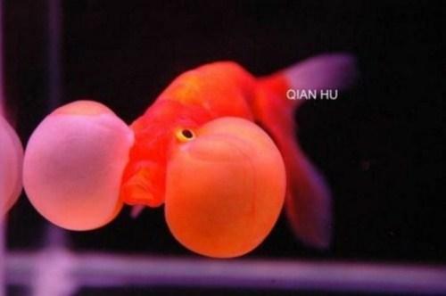 beautiful Bubble Eye Goldfish
