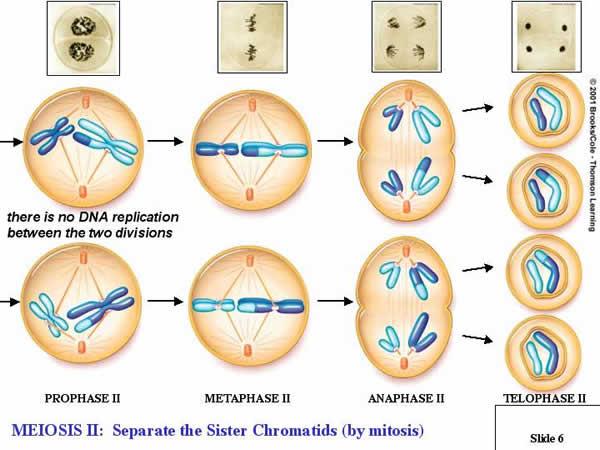 Fases del ciclo celular Mitosis y Meiosis