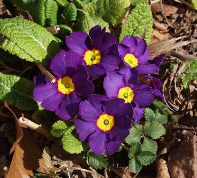 Отглеждане на Иглика (Примула) Primula