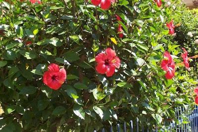 Китайска роза - Хибискус / Hibiscus rosa-sinensis