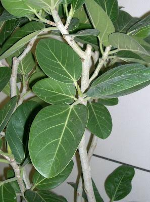 Фикус / Ficus