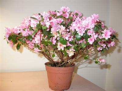 Азалия / Azalea indica