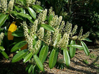 Отглеждане на Лавровишня / Prunus laurocerasus