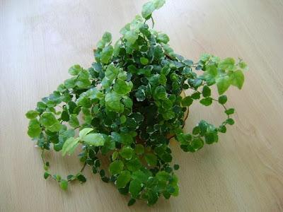 Видове фикуси - Пумила / Ficus Pumila